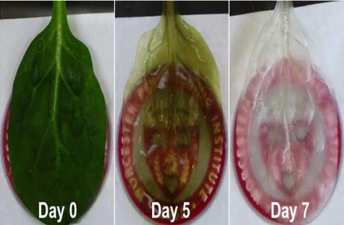 ıspanak yapraklarını insan kalbi hücrelerinin işlevi için