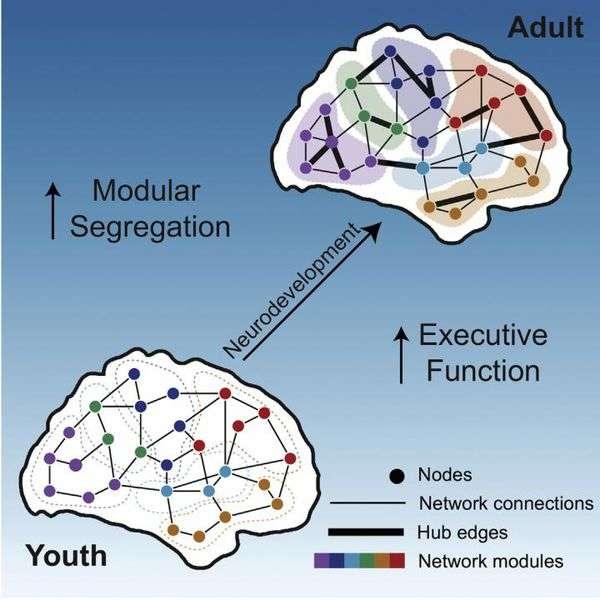 Beynin gelişim aşamaları
