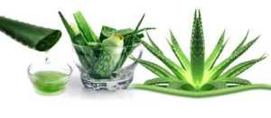 Aloe veranın etkileri ve faydaları