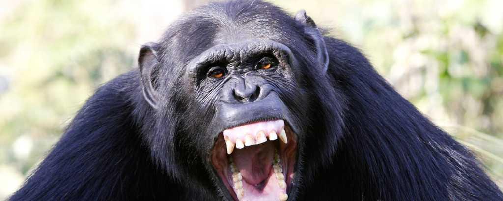 Araştırma bulguları şempanzenin insanlara karşı ne kadar duyarlı olduklarını gösteriyor
